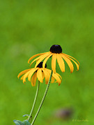 Layered Prints - Black-Eyed Susans Print by J Larry Walker