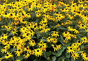 Black Eyed Susans Framed Prints - Black Eyed Susans Framed Print by Lena Auxier