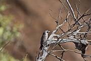 Cuckoo Photos - Black-Faced Cuckoo Shrike by Douglas Barnard