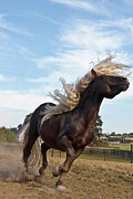 Forelock Photos - Black Forest Stallion Head Toss D9070 by Wes and Dotty Weber