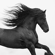Friesian Photos - Black Friesian Runs by Carol Walker