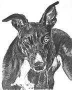 Skinny Drawings Prints - Black Greyhound Sketch Print by Kate Sumners