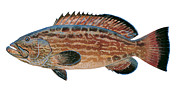 Striped Bass Paintings - Black Grouper by Carey Chen