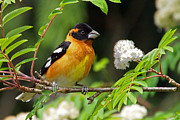 Tim Moore Metal Prints - Black-headed Grosbeak Metal Print by Tim Moore