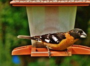 VLee Watson - Black-Headed Grosbeak