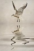 Gull Framed Prints - Black-headed gull  Framed Print by John Edwards