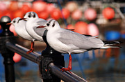 Susie Peek-Swint - Black-headed Gulls