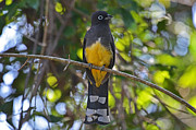 Ken Simonite - Black-headed Trogon