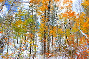 Needles Highway Prints - Black Hills Aspen Bright Up The Snow Print by Clarice Lakota