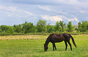 Dark Skies Posters - Black Horse in Montana Pasture Poster by Jennie Marie Schell