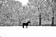Black Horse In The Snow Print by Bill Cannon