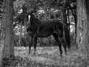 Frisky Photo Posters - Black horse Poster by Joyce  Wasser