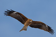 Natural Focal Point Photography - Black Kite 2