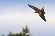 Nick  Biemans - Black Kite in flight