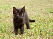 Sari ONeal - Black Kitten in Grass