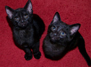 Kittens Digital Art - Black Kittens by JJ McLerran