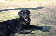Carolyn Ricks - Black Lab