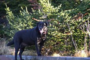 Dappled Light Photos - Black Lab in Dappled Light by Barbara Griffin