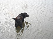 Dogs Digital Art Originals - Black Lab In Silver Pond by Wide Awake  Arts