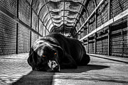 Black Lab Photos - Black Lab in Tunnel by Derek Haller