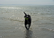 Elaine Mikkelstrup - Black Lab in Water