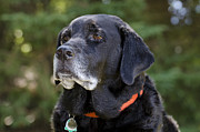 Attentive Labrador Dog Photos - Black Lab by Les Palenik