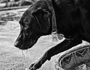 Black Lab Playing In Water Print by Robert Durbeck