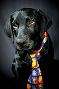 Black Lab Photos - Black Lab Portrait by Catherine Reusch  Daley