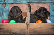 Toni Thomas - Black Lab Puppies