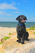 Black Lab Photos - Black Lab Puppy by Catherine Reusch  Daley
