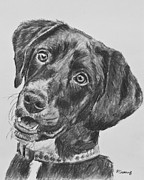 Akc Drawings Framed Prints - Black Lab Puppy Charcoal Sketch Framed Print by Kate Sumners