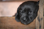 Toni Thomas - Black Lab Puppy Sleeping