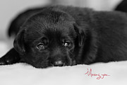 Toni Thomas - Black Lab Puppy