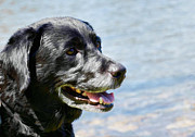 Les Palenik - Black lab retriever -...