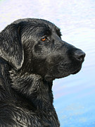 Labrador Retrievers Posters - Black Labrador Retriever after the Swim Poster by Jennie Marie Schell