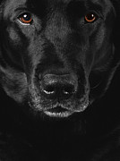 Black Lab Metal Prints - Black Labrador Retriever Metal Print by Diane Diederich