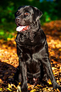 Japanese Dog Prints - Black Labrador Retriever in Autumn Forest 1 Print by Jenny Rainbow