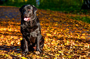 Sit-in Posters - Black Labrador Retriever in Autumn Forest Poster by Jenny Rainbow