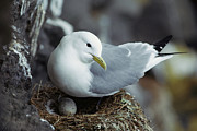 Gerry Posters - Black-legged Kittiwake Incubating Egg Poster by Gerry Ellis