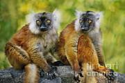 Black Lemur Female Print by Frans Lanting MINT Images
