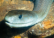 Black Mamba Photo Prints - Black Mamba Print by Millard H. Sharp
