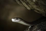 Black Mamba Photo Framed Prints - Black Mamba on rock Framed Print by Rick Budai