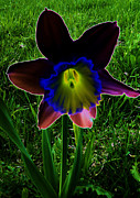 Blue Trumpet Flower Photos - Black Narcissus by Martin Howard