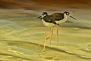 Surfing. Fishing Posters - Black-neck Stilt Poster by Deborah Benoit