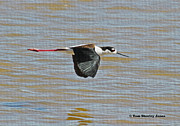 Tom Janca - Black Neck Stilt Flies