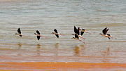 Desert Lake Art - Black-necked Stilt - Lake Powell by Julie Niemela