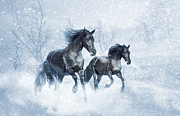 Friesian Posters - Black Pearls White Winter Poster by Jamie Mammano
