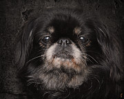 Pekingese Framed Prints - Black Pekingese Framed Print by Jai Johnson
