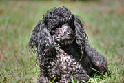 Animal Portrait Posters Posters - Black Poodle Poster by Ester  Rogers