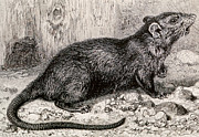 Featured Art - Black Rat 19th Century Engraving by Spl
